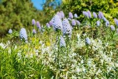 Den Kalifornien lilan blommar busken i solig sommardag i botanisk trädgård Royaltyfria Foton