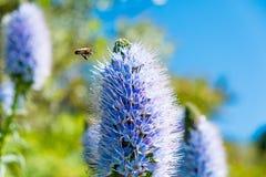 Den Kalifornien lilan blommar busken i solig sommardag i botanisk trädgård Royaltyfri Bild