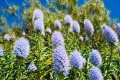 Den Kalifornien lilan blommar busken i solig sommardag i botanisk trädgård Arkivfoton