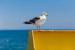 Den kaliforniska seagullen sitter på en metallstruktur royaltyfria bilder