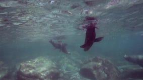 Den kaliforniska sjölejonZalophuscalifornianusen spelar med med dykare i för det öCortez för Los Isoletes La Paz havet arkivfilmer