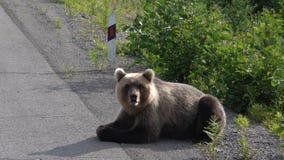 Den Kamchatka brunbjörnen ligger på vägrenen av asfaltvägen lager videofilmer