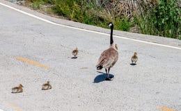 Den Kanada gåsfamiljen som korsar gässlingarna för väg 2, avgör att stoppa och vila royaltyfri bild