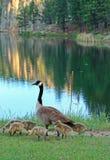 Den kanadensiska gåsen med behandla som ett barn gässlingar bredvid Sylvan Lake i Custer State Park i Blacket Hills av South Dako Royaltyfria Foton