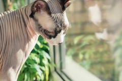 Den kanadensiska hårlösa sfinxkatten sitter på en fönsterfönsterbräda med houseplants som är främsta av ett fönster Arkivfoton