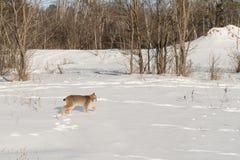 Den kanadensiska lodjurlodjurcanadensisen går rätt över snö Royaltyfri Fotografi