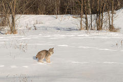 Den kanadensiska lodjurlodjurcanadensisen stoppar tvärt i snö Royaltyfri Fotografi