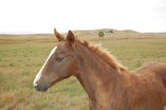 Den kanelbruna hästen ser mig och kommer för closeup Royaltyfri Fotografi
