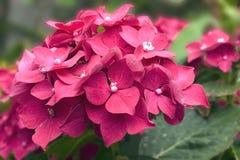 Den karmosinröda blommavanliga hortensian, närbild Arkivbilder