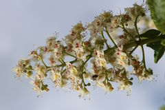 Den kastanjebruna blomman Royaltyfria Bilder