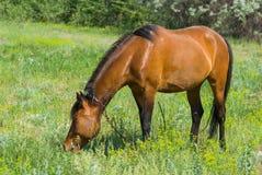 Den kastanjebruna hästen på en vår betar Arkivfoton