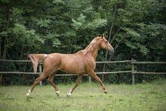Den kastanjebruna warmbloodhästen traver i ett fält Arkivfoto