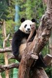 Den keliga jätte- pandan Arkivbild