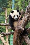 Den keliga jätte- pandan Royaltyfri Fotografi