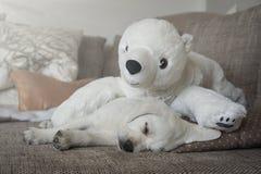 Den keliga leksakisbjörnen och vit labrador dog valpen Royaltyfri Foto