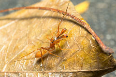 Den Kerengga myran gillar förklädet Arkivfoton