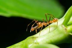 Den Kerengga myran gillar förklädet Arkivbild
