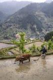Den kinesiska bonden odlar land i översvämmad ricefield genom att använda rött c Arkivfoton