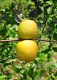 Den kinesiska kvitten bär frukt (Chaenomelesspeciosaen) royaltyfri foto