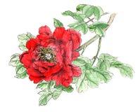 Den kinesiska traditionella distingerade ursnygga dekorativa hand-målade färgpulverpionen blommar Royaltyfria Bilder