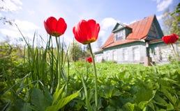 den klassiska stugan blommar den gammala sommartulpan Arkivbilder