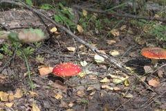 Den klipska amanitaen av höstskogen går över grov terräng Arkivfoton