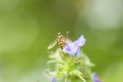 Den klipska Hoverfly ibland kallade blomman flyger, eller syrphid flyger flyga hoverfly att sitta nära den lila blomman i foto fö Royaltyfri Bild