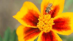 Den klipska krypfågeln sitter på en ljus guling-röd blomma Yttersidan tänds av den ljusa solen Makrofoto av ett kryp med Arkivfoto