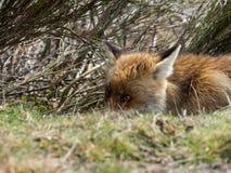 Den knepiga röda räven (Vulpesvulpes) ordnar till för att överfalla från bakhåll royaltyfria foton