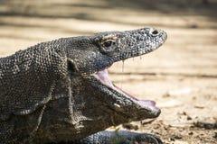 Den Komodo draken arkivfoto