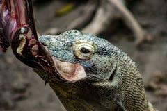 Den Komodo draken, den största ödlan i världen går på kameran med farlig blick arkivbild