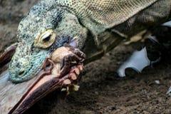 Den Komodo draken, den största ödlan i världen går på kameran med farlig blick arkivfoton