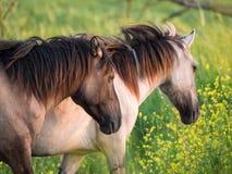Den Konik hästar och mostarden kärnar ur i naturreserv Royaltyfri Foto