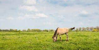 Den Konik hästen kastar upp hans svans fotografering för bildbyråer