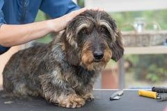 Den Kopf des Dachshunds trimmend, verdrahten Sie behaarten Hund lizenzfreie stockfotografie