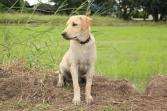 Den kräm- hunden sitter på fältet Royaltyfria Foton