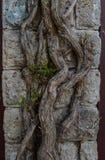 Den krökta murgrönan rotar på väggen Royaltyfria Foton