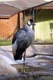 Den krönade kranen är ett stort Sudan Etiopien för fjädrar för det fågelAfrika vapnet träsk arkivbilder
