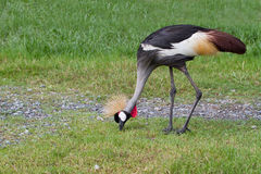 Den krönade kranfågeln eller afrikanen krönade kranfågeln på gräset fi Royaltyfri Bild