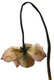Den kraurotic lotusblommablomman Royaltyfri Foto
