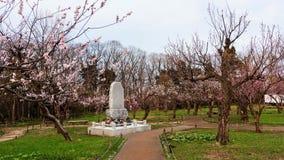 Den körsbärsröda blomningen på Maruyama parkerar, Sapporo Arkivbild