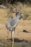 Den Kudu tjuren med enorma horn dricker vatten på pölen arkivfoto