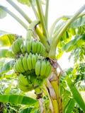 Kultiverad banan Royaltyfria Foton