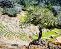 Den kust- Quercusagrifoliaen för den levande eken som växer på, vaggar i mitt av en utomhus- teater, Marin County, norr San Franc royaltyfria foton