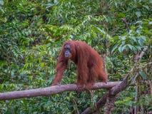 Den kvicka orangutanget går på en inloggning djungeln av Indonesien Royaltyfria Bilder