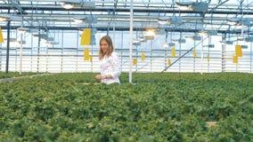 Den kvinnliga arbetaren går vidare warmhousen och den undersökande grönsallaten Industriell växthusinre stock video