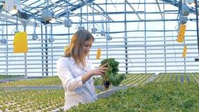 Den kvinnliga arbetaren kontrollerar upp kvaliteten av grönsallatsidor, slut arkivfilmer