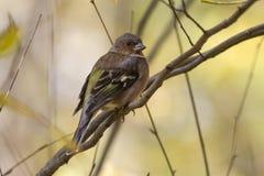 Den kvinnliga bofinken sitter på en solig höst för filial Arkivfoto