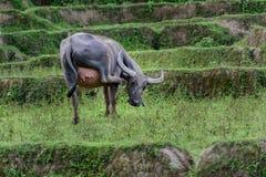 Den kvinnliga buffeln är lyftta ben som skrapar huvud Royaltyfria Bilder