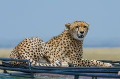 Den kvinnliga cheetahen taklägger på Arkivbilder